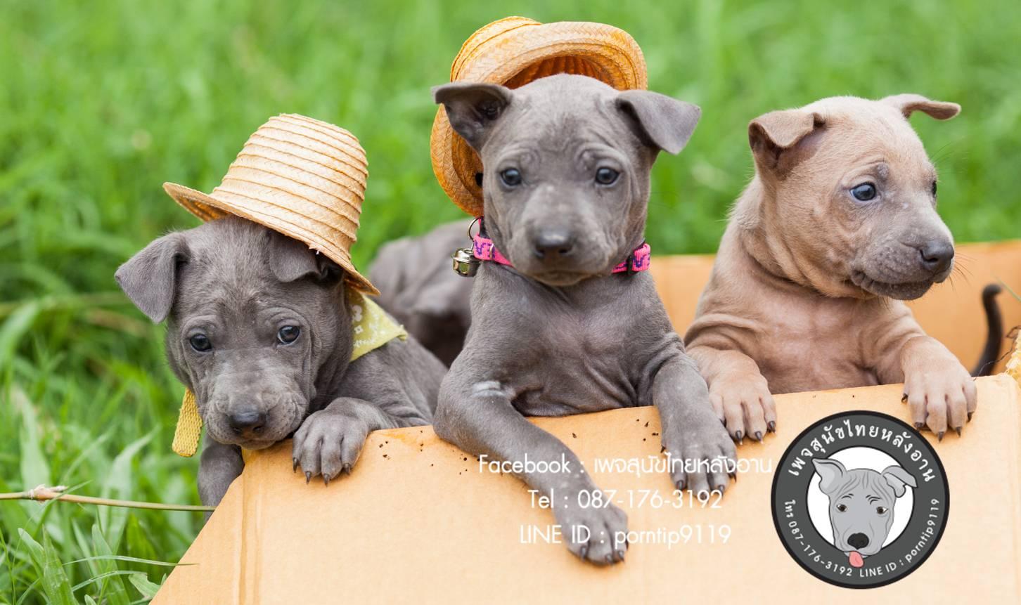 สุนัขไทยหลังอาน ขายสุนัขไทยหลังอาน   ลูกสุนัขไทยหลังอานnet-0005