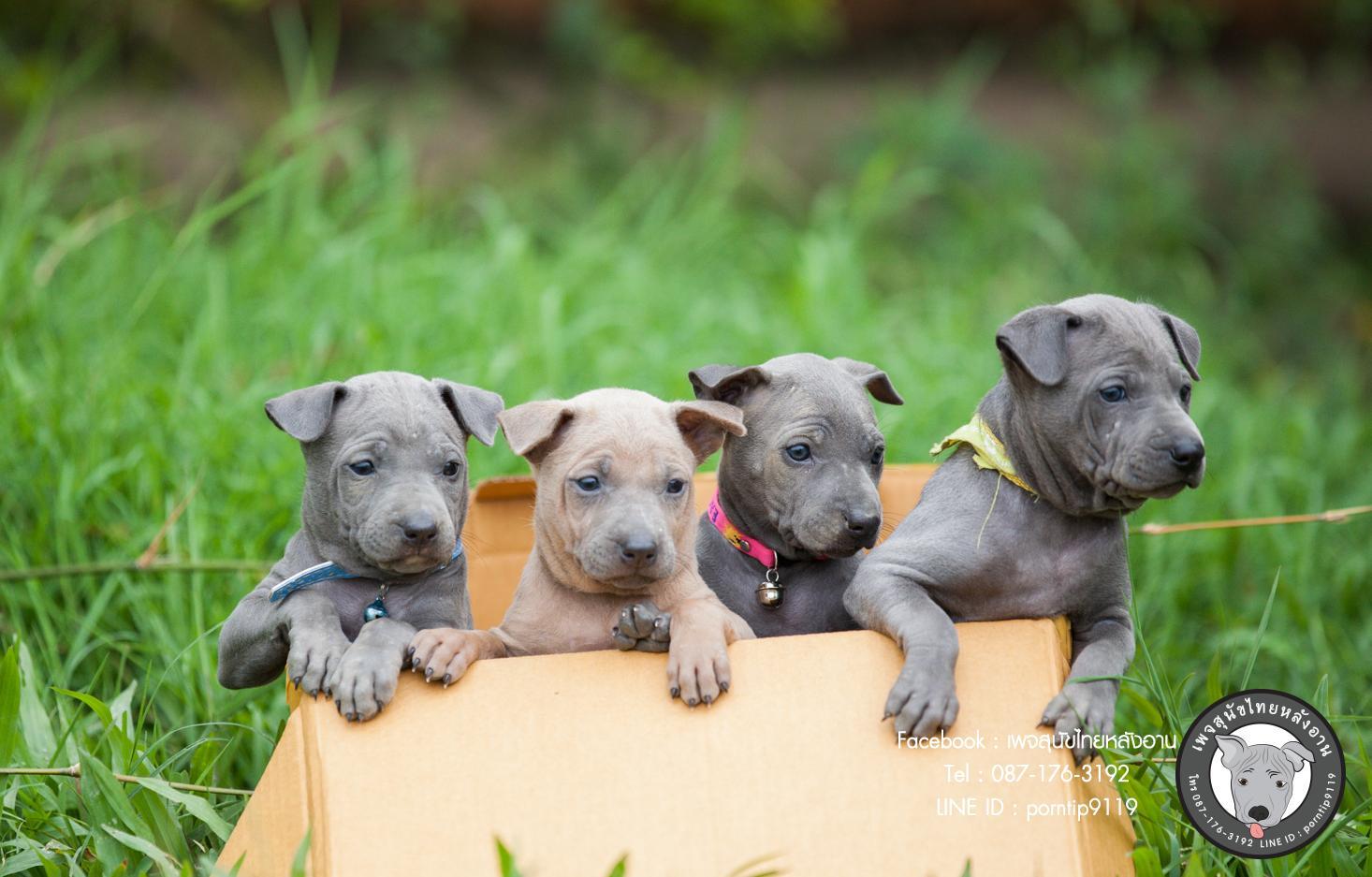 สุนัขไทยหลังอาน ขายสุนัขไทยหลังอาน   ลูกสุนัขไทยหลังอานnet-0036