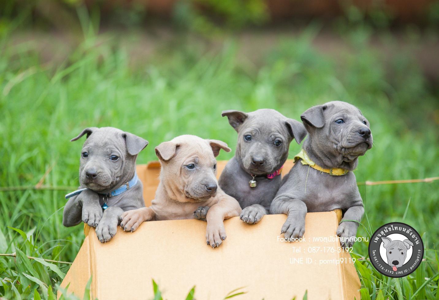 สุนัขไทยหลังอาน ขายสุนัขไทยหลังอาน   ลูกสุนัขไทยหลังอานnet-0042