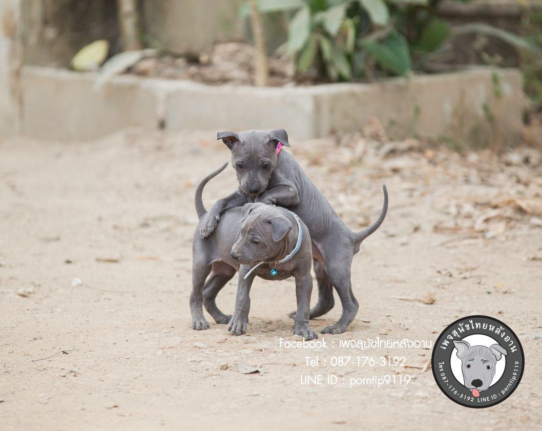สุนัขไทยหลังอาน ขายสุนัขไทยหลังอาน   ลูกสุนัขไทยหลังอานnet-0049