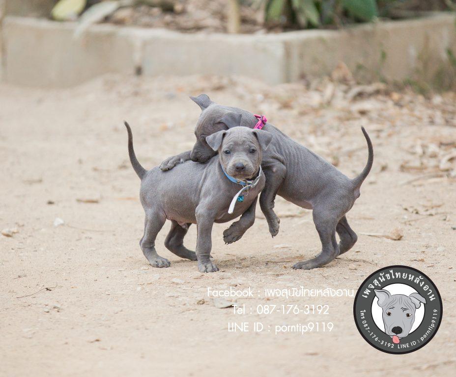 สุนัขไทยหลังอาน ขายสุนัขไทยหลังอาน   ลูกสุนัขไทยหลังอานnet-0050