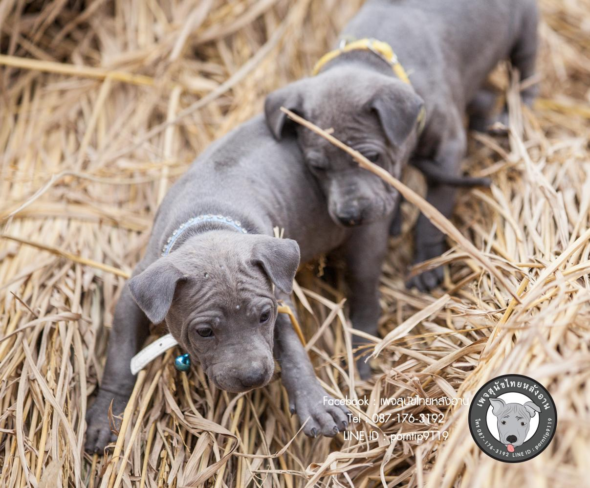 สุนัขไทยหลังอาน ขายสุนัขไทยหลังอาน   ลูกสุนัขไทยหลังอานnet-0083dsd