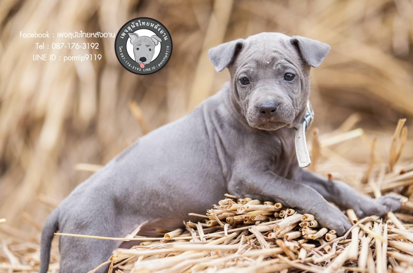 สุนัขไทยหลังอาน ขายสุนัขไทยหลังอาน   ลูกสุนัขไทยหลังอานnet-0090