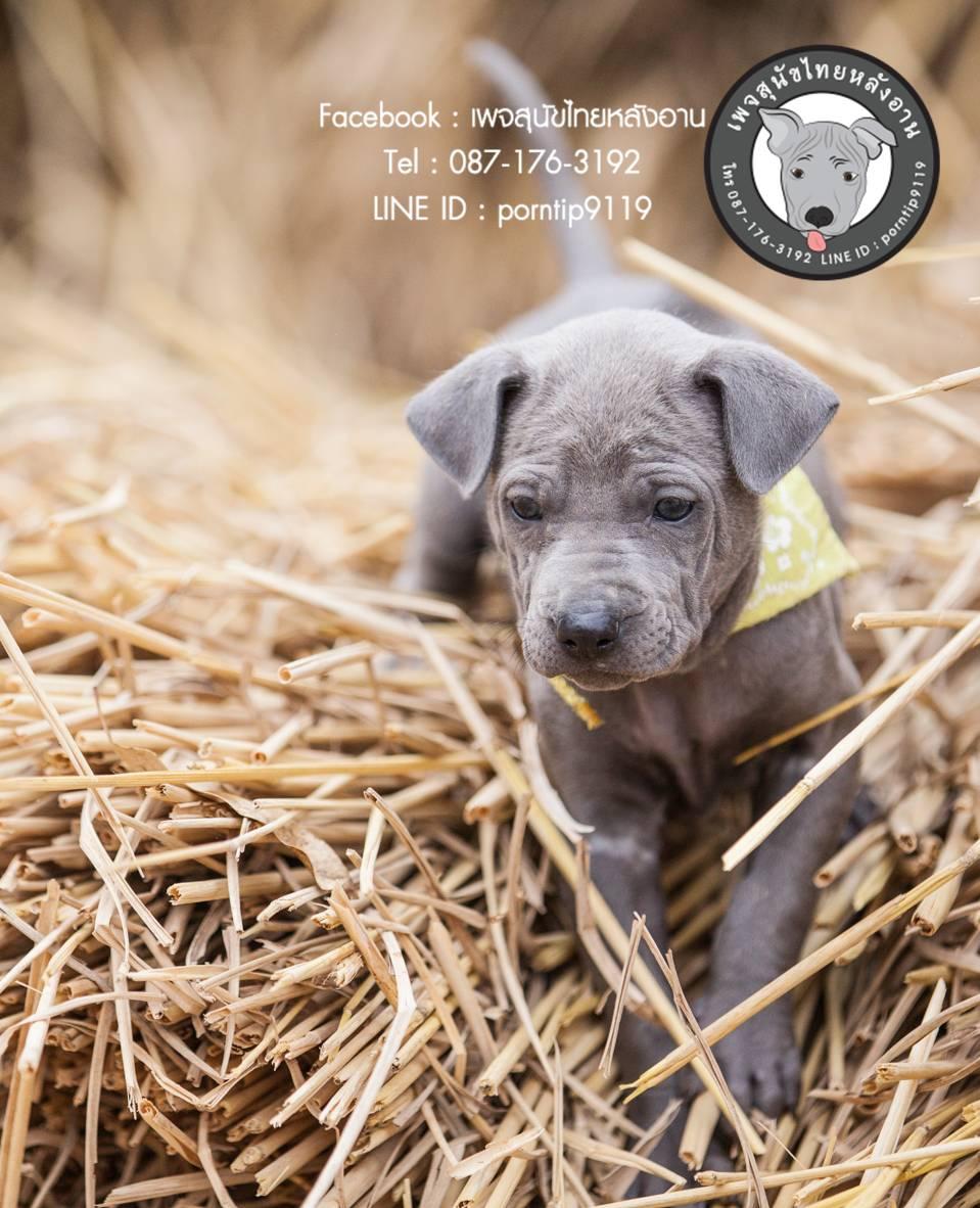 สุนัขไทยหลังอาน ขายสุนัขไทยหลังอาน   ลูกสุนัขไทยหลังอานnet-0097