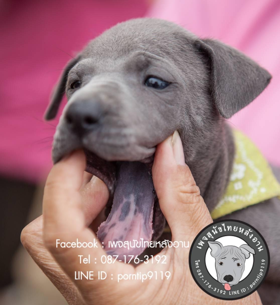 สุนัขไทยหลังอาน ขายสุนัขไทยหลังอาน   ลูกสุนัขไทยหลังอานnet-0105