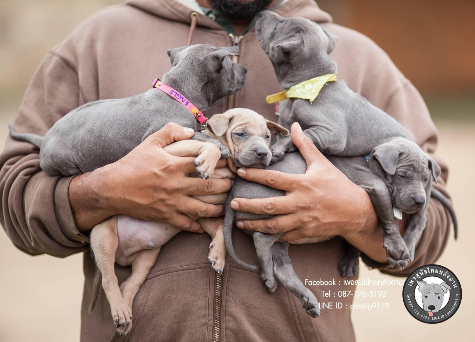 สุนัขไทยหลังอาน ขายสุนัขไทยหลังอาน   ลูกสุนัขไทยหลังอานnet-0112