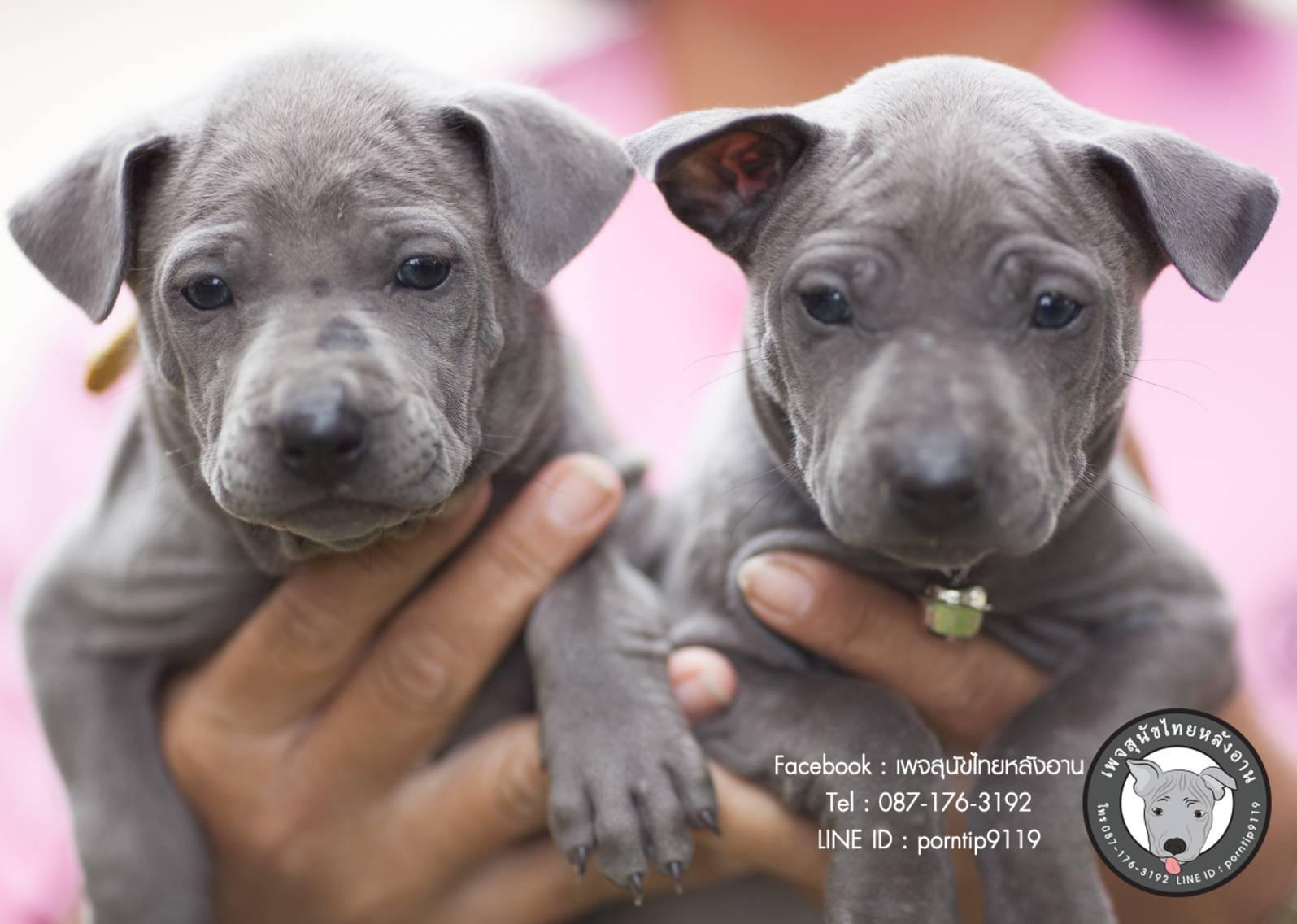 สุนัขไทยหลังอาน ขายสุนัขไทยหลังอาน   ลูกสุนัขไทยหลังอานnet-0156