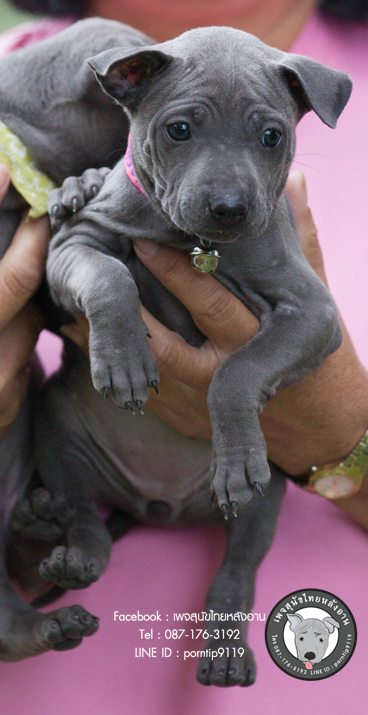 สุนัขไทยหลังอาน ขายสุนัขไทยหลังอาน   ลูกสุนัขไทยหลังอานnet-0160