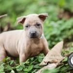 สุนัขไทยหลังอาน ขายสุนัขไทยหลังอาน   ลูกสุนัขไทยหลังอานnet-0173