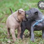สุนัขไทยหลังอาน ขายสุนัขไทยหลังอาน   ลูกสุนัขไทยหลังอานnet-0184