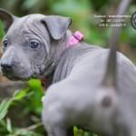 สุนัขไทยหลังอาน ขายสุนัขไทยหลังอาน   ลูกสุนัขไทยหลังอานnet-0189