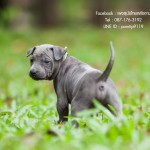 สุนัขไทยหลังอาน ขายสุนัขไทยหลังอาน   ลูกสุนัขไทยหลังอานnet-0213