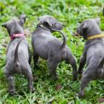 สุนัขไทยหลังอาน ขายสุนัขไทยหลังอาน   ลูกสุนัขไทยหลังอานnet-0214