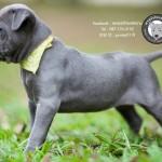 สุนัขไทยหลังอาน ขายสุนัขไทยหลังอาน   ลูกสุนัขไทยหลังอานnet-0219