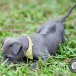 สุนัขไทยหลังอาน ขายสุนัขไทยหลังอาน   ลูกสุนัขไทยหลังอานnet-0222