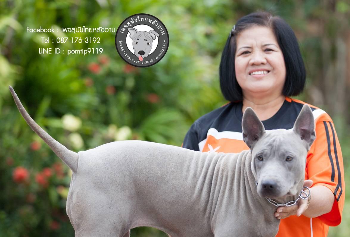 โทร 0871763192,สุนัขไทยหลังอานสายตราด,สุนัขจตุจักร,กรุงเทพฟา