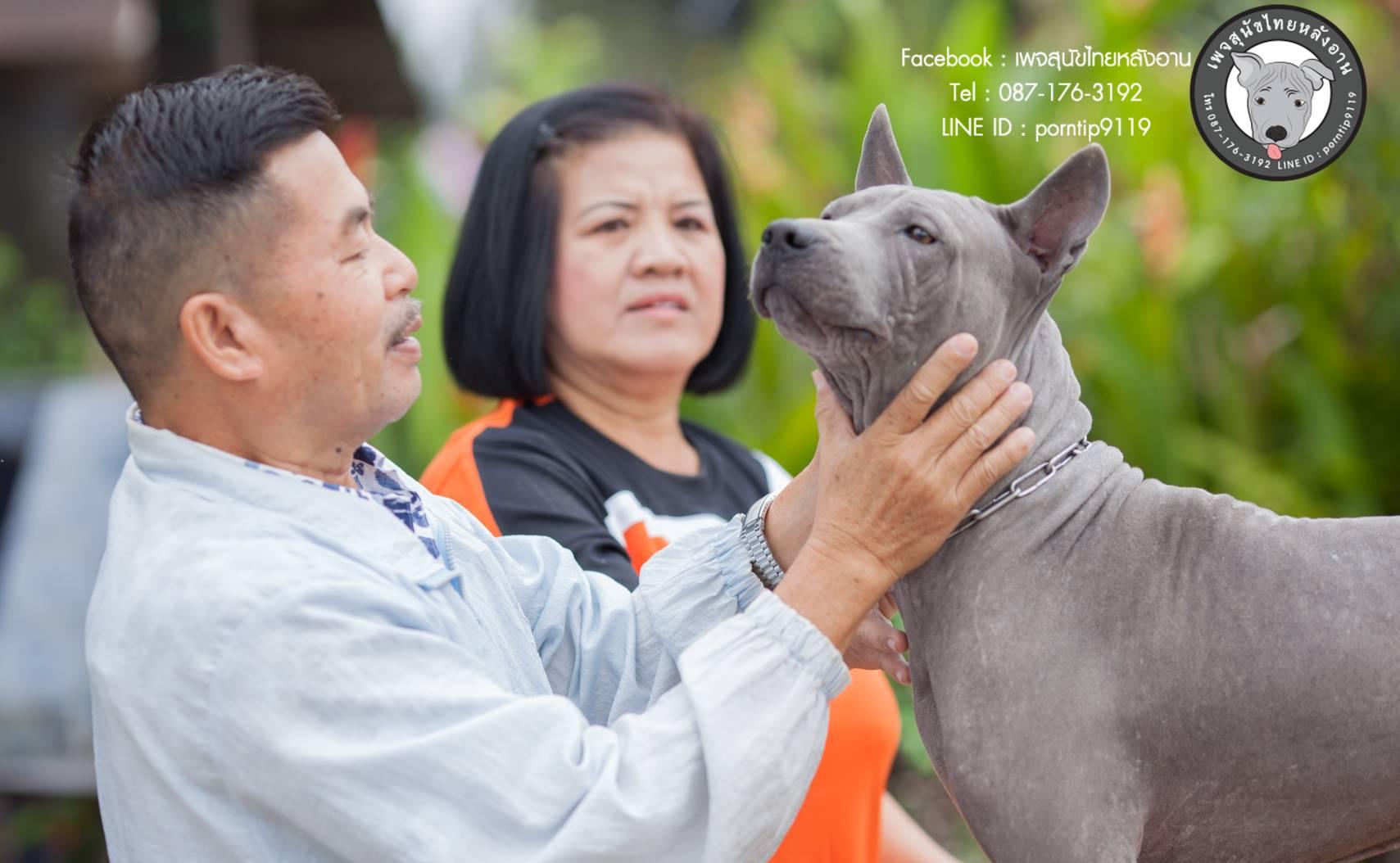 สุนัขไทยหลังอาน ขายสุนัขไทยหลังอาน   ลูกสุนัขไทยหลังอานnet-0333