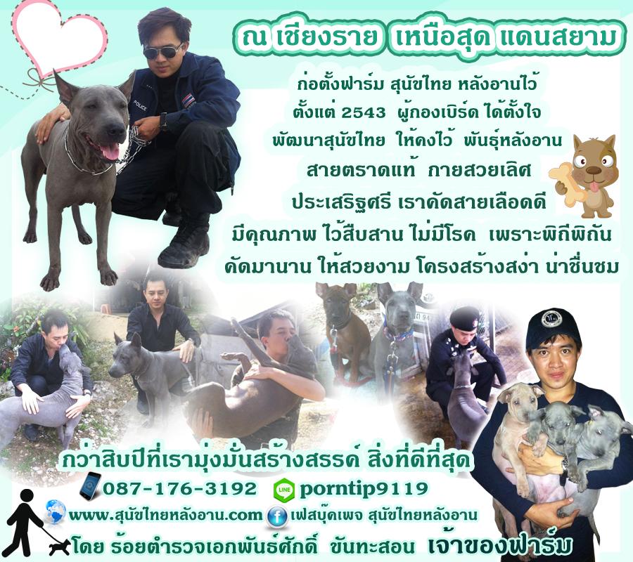สุนัขไทยหลังอาน18
