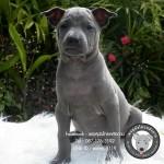 หมาไทย  หมาไทยหลังอาน สุนัขไทยหลังอาน ขายสุนัขไทยหลังอาน   ลูกสุนัขไทยหลังอานPicture 005