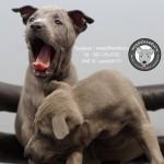 หมาไทย  หมาไทยหลังอาน สุนัขไทยหลังอาน ขายสุนัขไทยหลังอาน   ลูกสุนัขไทยหลังอานPicture 021