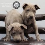 หมาไทย  หมาไทยหลังอาน สุนัขไทยหลังอาน ขายสุนัขไทยหลังอาน   ลูกสุนัขไทยหลังอานPicture 027