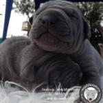 หมาไทย  หมาไทยหลังอาน สุนัขไทยหลังอาน ขายสุนัขไทยหลังอาน   ลูกสุนัขไทยหลังอานS__22888455