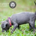 หมาไทย  หมาไทยหลังอาน สุนัขไทยหลังอาน ขายสุนัขไทยหลังอาน   ลูกสุนัขไทยหลังอานnet-0226