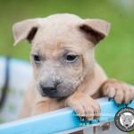 หมาไทย  หมาไทยหลังอาน สุนัขไทยหลังอาน ขายสุนัขไทยหลังอาน   ลูกสุนัขไทยหลังอานnet-0228