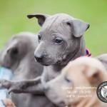 หมาไทย  หมาไทยหลังอาน สุนัขไทยหลังอาน ขายสุนัขไทยหลังอาน   ลูกสุนัขไทยหลังอานnet-0232