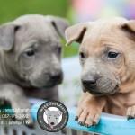 หมาไทย  หมาไทยหลังอาน สุนัขไทยหลังอาน ขายสุนัขไทยหลังอาน   ลูกสุนัขไทยหลังอานnet-0234