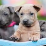 หมาไทย  หมาไทยหลังอาน สุนัขไทยหลังอาน ขายสุนัขไทยหลังอาน   ลูกสุนัขไทยหลังอานnet-0235