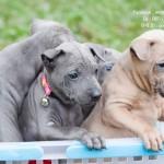 หมาไทย  หมาไทยหลังอาน สุนัขไทยหลังอาน ขายสุนัขไทยหลังอาน   ลูกสุนัขไทยหลังอานnet-0236