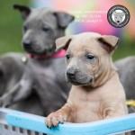 หมาไทย  หมาไทยหลังอาน สุนัขไทยหลังอาน ขายสุนัขไทยหลังอาน   ลูกสุนัขไทยหลังอานnet-0239