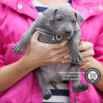 หมาไทย  หมาไทยหลังอาน สุนัขไทยหลังอาน ขายสุนัขไทยหลังอาน   ลูกสุนัขไทยหลังอานnet-0343