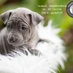 หมาไทย  หมาไทยหลังอาน สุนัขไทยหลังอาน ขายสุนัขไทยหลังอาน   ลูกสุนัขไทยหลังอานnet-0391