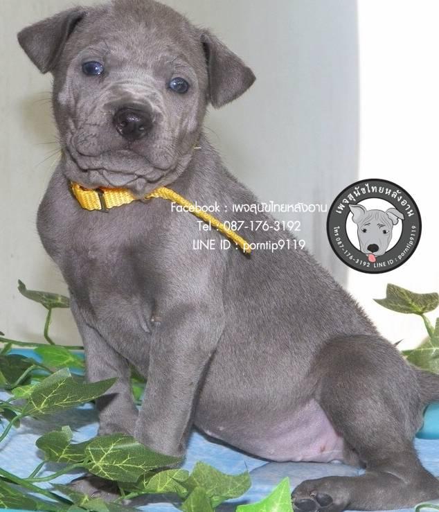 เดือนเด่น   สุนัขไทยหลังอาน ขายสุนัขไทยหลังอาน   ลูกสุนัขไทยหลังอานIMG_4235