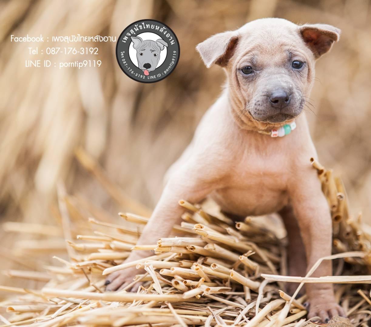 เพชร  สุนัขไทยหลังอาน ขายสุนัขไทยหลังอาน   ลูกสุนัขไทยหลังอานnet-0094