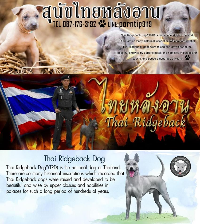 1ไฟพันทิพ3ซื้อขายฟาร์มสุนัขไทยหลังอานเชียงรายเชียงใหม่กรุงเทพภูเก็ตโคราชอุบล-vert