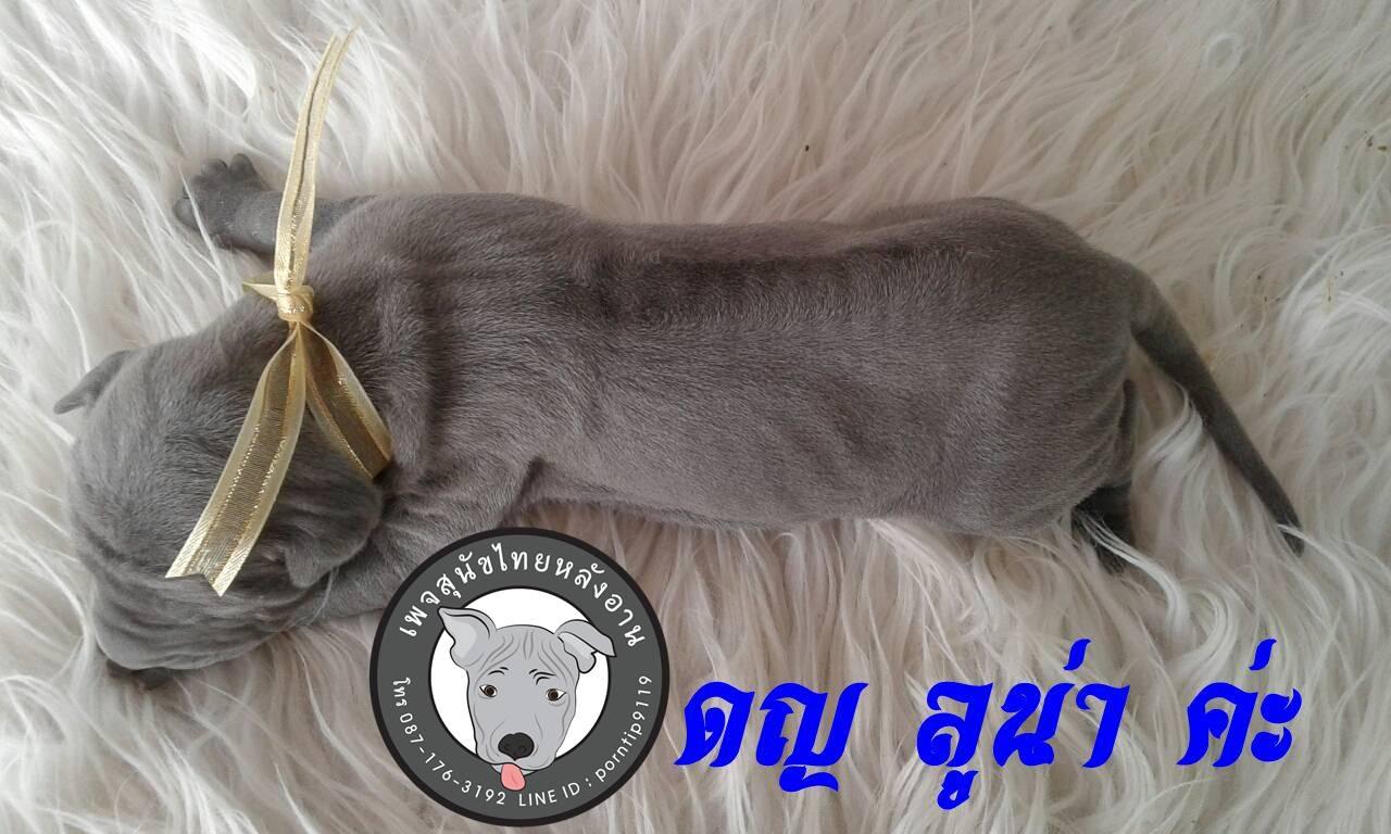 (10) สุนัขไทยหลังอาน  ลูน่า เลิฟกู๊ด (Lu-na –Love-good)3790