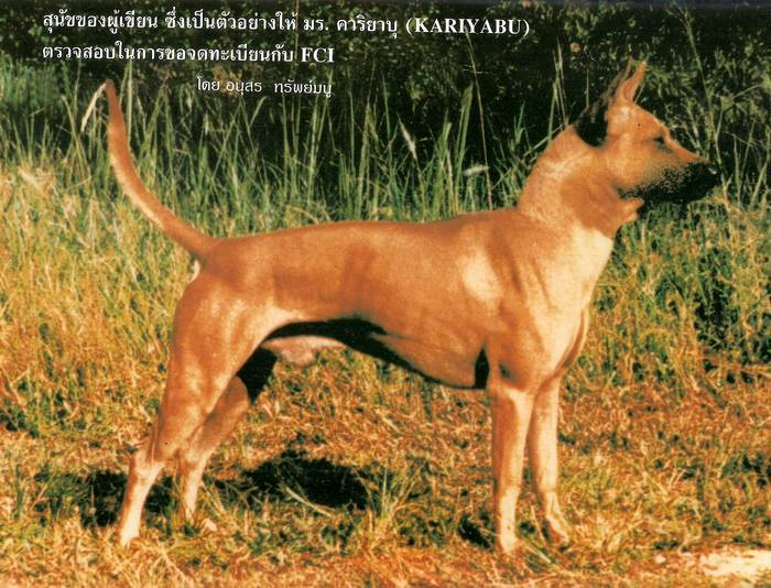 sell, for sell, dogs, TRD,thairidgeback, blue thairidgeback , red thairidgeback , ISABELLA , FEMALE , MALE, Thai ridgeback dog, Ridgeback dog, Primitive, pet, puppy, Thai Dog, Mahthai, Lang ahn,