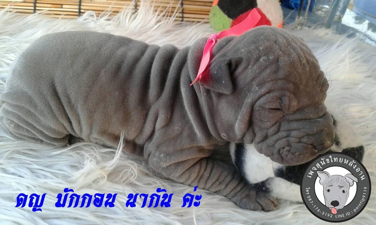 (12) สุนัขไทยหลังอาน  มักกอน นากัล(Mc-Gon-na-gall)5221