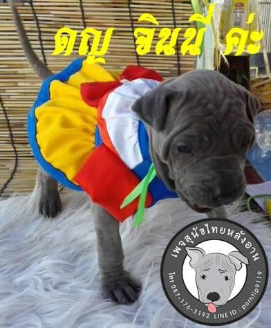(13) สุนัขไทยหลังอาน  จินนี่ วีสลีย์ (Gin-ny –Weas-ley7404