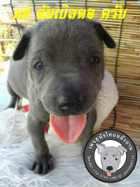 (15) สุนัขไทยหลังอาน  ดัมเบิลดอร์ (Dum-ble-dore)7365