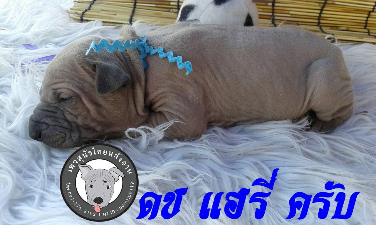 (16) สุนัขไทยหลังอาน   แฮรี่ พอตเตอร์ (Har-ry –Pot-ter)5138