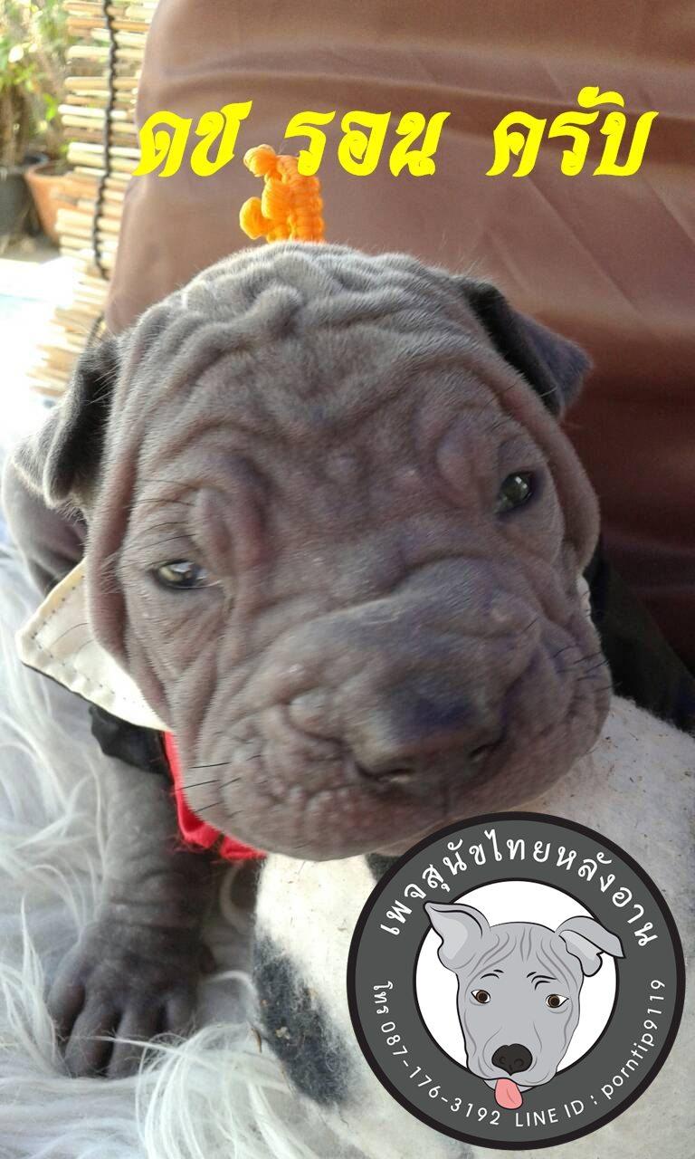 (17) สุนัขไทยหลังอาน   รอน วิสลีย์ (Ron- Weas-ley)5989