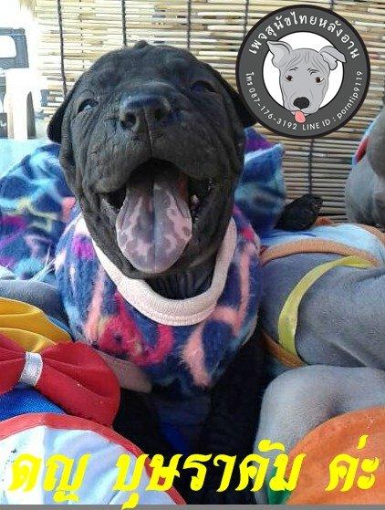 (2) สุนัขไทยหลังอาน  บุษราคัม (BUS-SA-RA-CUM7447