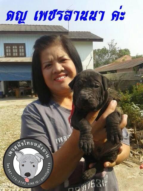(6)   สุนัขไทยหลังอาน   เพรชลานนา (PHACH-LAN-NA)7476
