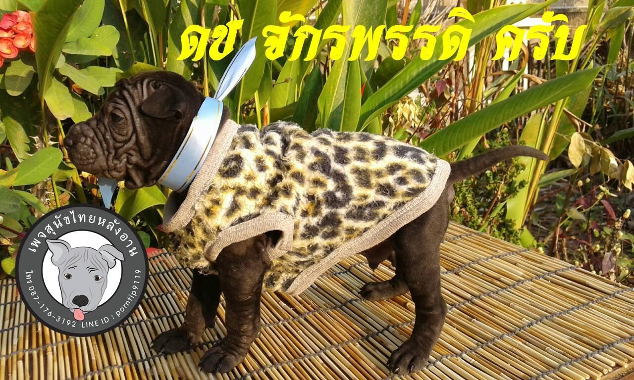 (7) สุนัขไทยหลังอาน   จักรพรรดิ(JUK-KA-PHUT)5854