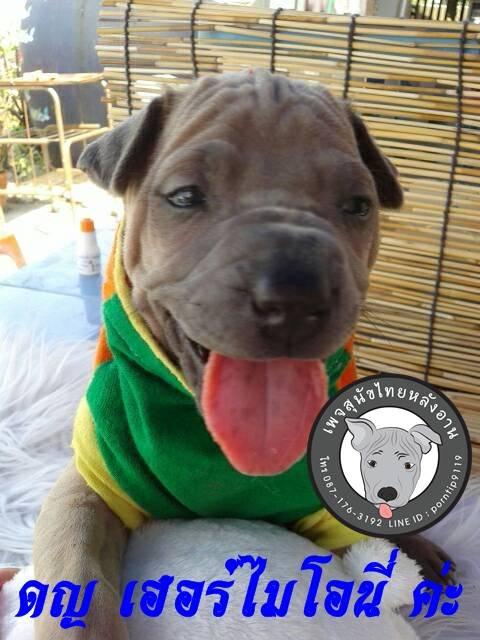 (8)   สุนัขไทยหลังอาน   เฮอร์ ไมโอนี่ เกรนเจอร์ (Her-mi-o-ne –Gran-ger7395
