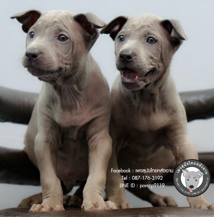สุนัขไทยหลังอาน ขายสุนัขไทยหลังอาน   ลูกสุนัขไทยหลังอาน